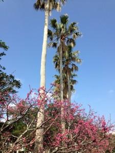 沖縄 与儀公園 桜